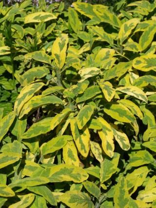 Пряновкусовые декоративные травы