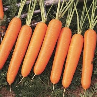 Морковь Найроби F1 - Семена Тут