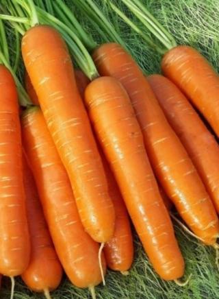 Морковь Нантская 4 - Семена Тут