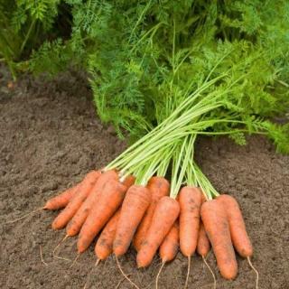 Морковь Карини - Семена Тут