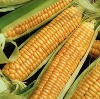 Кукуруза Золотой батам - Семена Тут