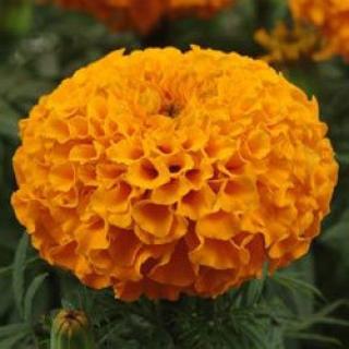 Бархатцы прямостоячие Тайшан Оранж [1000 шт] - Семена Тут