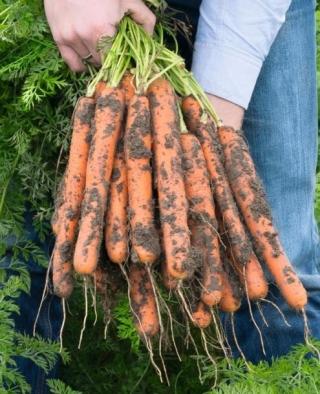 Морковь Нерак F1 - Семена Тут