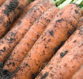 Морковь Ниланд F1 - Семена Тут