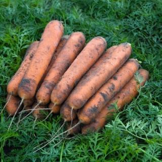 Морковь Номинатор F1 - Семена Тут