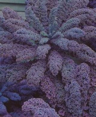 Капуста листовая Редбор F1 - Семена Тут