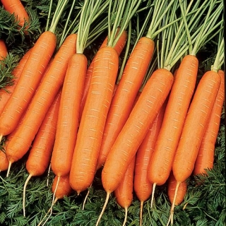 Морковь Нарбонне F1 - Семена Тут