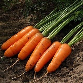 Морковь Шантенэ Королевская - Семена Тут