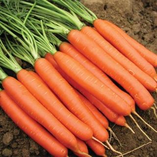 Морковь Канберра F1 - Семена Тут