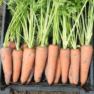 Морковь Канада F1 - Семена Тут