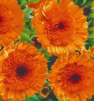 Календула каблуна Темно-оранжевая - Семена Тут