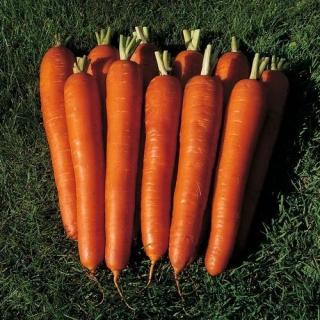 Морковь Бангор F1 - Семена Тут