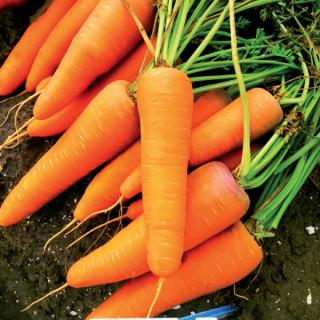 Морковь СВ 7381 ДЧ F1 - Семена Тут