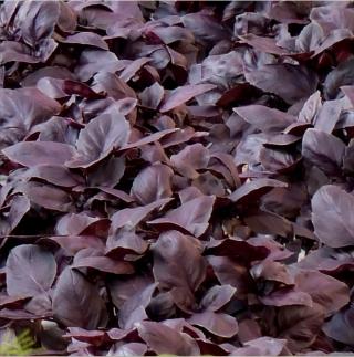 Базилик Жиголо фиолетовый - Семена Тут