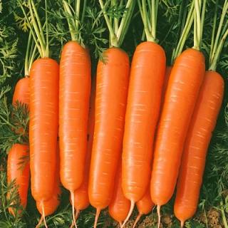 Морковь Болеро F1 - Семена Тут