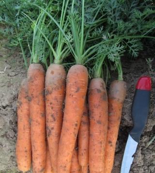 Морковь Наутилус F1 - Семена Тут