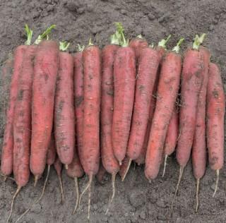 Морковь Ред Сан F1 - Семена Тут