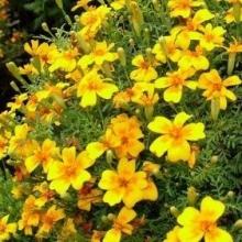 Бархатцы тонколистные Золотой самоцвет - Семена Тут