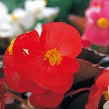 Бегония вечноцветущая бронзоволистная Гавана Скарлет [1000 драже] - Семена Тут