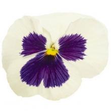 Виола крупноцветковая Инспайер Делюкс  Вайт Блотч [1000 шт] - Семена Тут