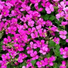 Арабис грандифлора Розовый - Семена Тут