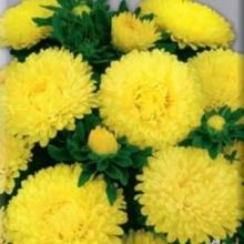 Астра низкорослая Желтый ковер - Семена Тут