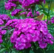 Гвоздика Турецкая Фиолетовая гора - Семена Тут