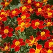 Бархатцы тонколистные Красный самоцвет - Семена Тут
