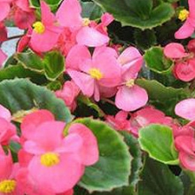 Бегония вечноцветущая зеленолистная Амбассадор Роуз [1000 драже] - Семена Тут