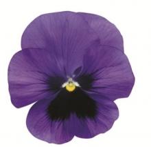 Виола крупноцветковая Динамит Дип Блю виз Блотч [100 шт] - Семена Тут