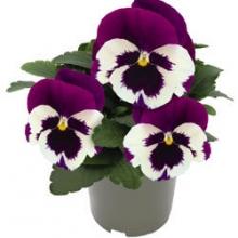 Виола крупноцветковая Инспайер Делюкс Вайт Виолет Винг [1000 шт] - Семена Тут