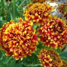 Гайлардия красивая Лоллипап двухцветная - Семена Тут