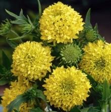 Гайлардия красивая Лоллипап золотая - Семена Тут