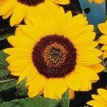 Подсолнечник Чоко Сан [100 шт] - Семена Тут