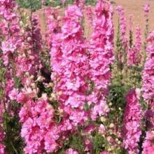 Дельфиниум крупноцветковый Розовая бабочка - Семена Тут