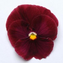 Виола крупноцветковая Матрикс Роуз  [50 шт] - Семена Тут