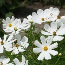 Космея Сенсация Белая - Семена Тут