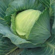 Барбарис Тунберга Коронита (С2) (лист темно-красный с зеленой каймой)