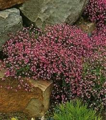 Гипсофила изящная Розовая - Семена Тут