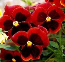 Анютины глазки Красный кардинал - Семена Тут