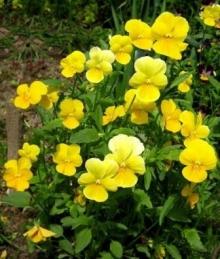 Фиалка рогатая Совершенство желтая - Семена Тут