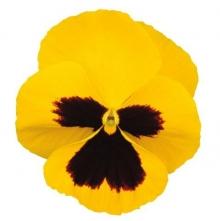 Виола крупноцветковая Динамит Еллоу Виз Блотч [1000 шт] - Семена Тут