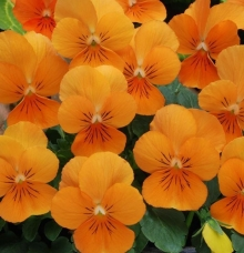 Фиалка рогатая Совершенство оранжевая - Семена Тут
