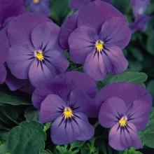Фиалка рогатая Совершенство фиолетово-голубая - Семена Тут