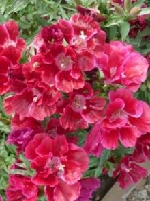 Годеция крупноцветковая Красная заря - Семена Тут