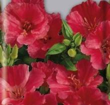 Годеция крупноцветковая Лава - Семена Тут