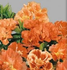 Годеция крупноцветковая Оранж Глори - Семена Тут