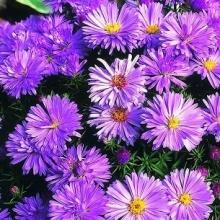 Астра альпийская Фиолетовая - Семена Тут