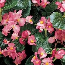 Бегония вечноцветущая зеленолистная Инферно Роуз [1000 драже] - Семена Тут