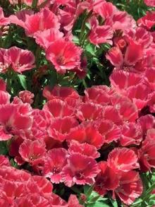 Годеция крупноцветковая Красна девица - Семена Тут